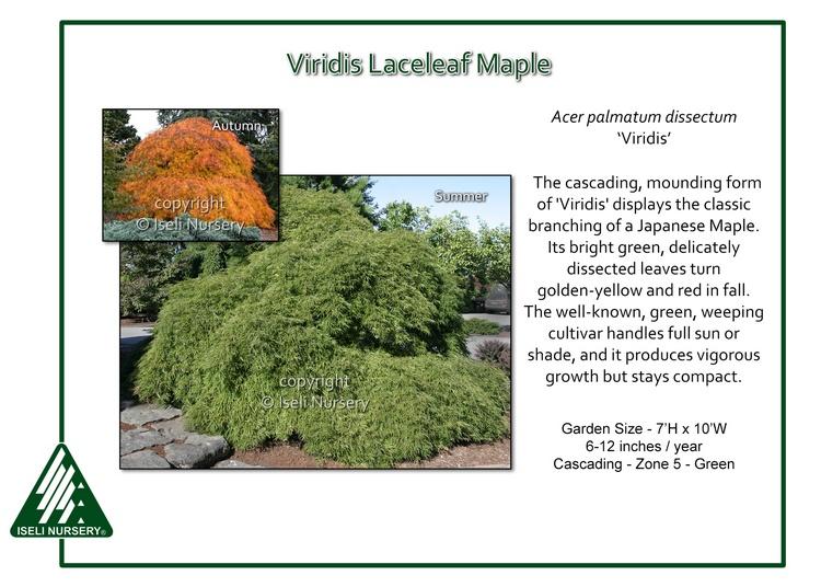 Acer-palmatum-Viridis