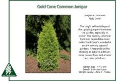 Juniperus-communis-GoldCone