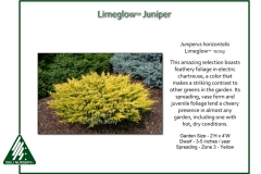Juniperus-horizontalis-Limeglow-1