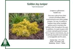 Juniperus-x-pfitzeriana-GoldenJoy