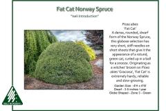 Picea-abies-FatCat