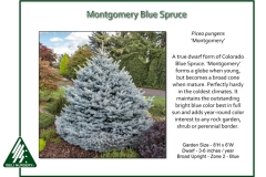 Picea-pungens-Montgomery