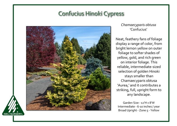 Chamaecyparis-obtusa-Confucius