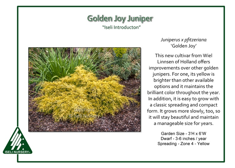 Juniperus-x-pfitzeriana-GoldenJoy