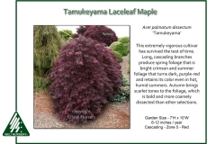 Acer-palmatum-Tamukeyama