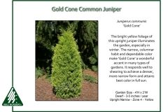 Juniperus-communis-GoldCone