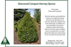 Picea-abies-SherwoodCompact